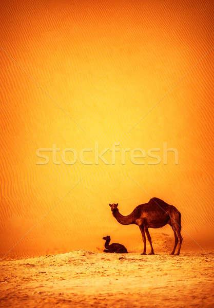 Família camelos deserto grande alto Foto stock © Anna_Om