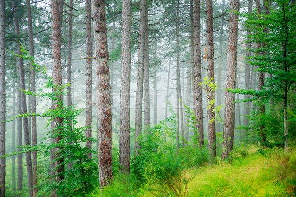 Bella pino foresta abstract naturale misty Foto d'archivio © Anna_Om
