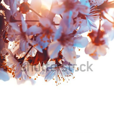 Photo stock: Amande · arbre · fleur · fleur · rose · bokeh