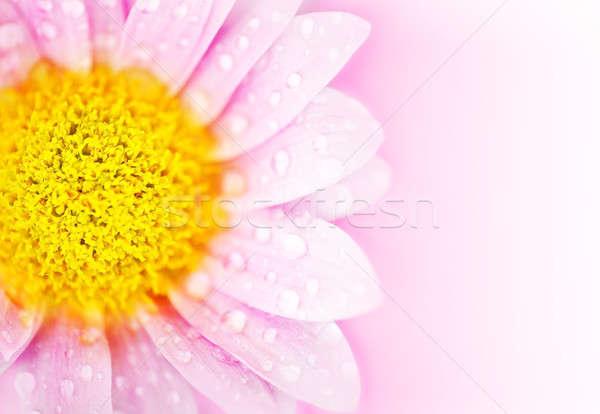 Różowy Daisy kwiat kwiatowy streszczenie mokro Zdjęcia stock © Anna_Om