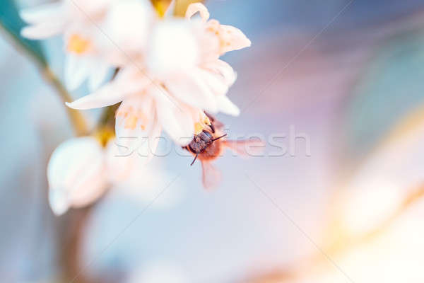 Bee pollinates mandarin flowers Stock photo © Anna_Om