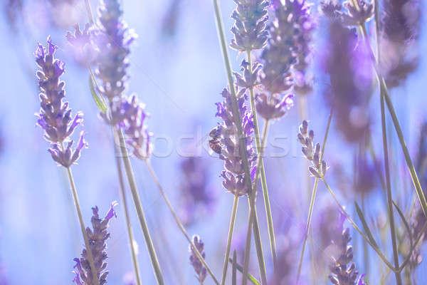 нежный лаванды цветы мало Purple Сток-фото © Anna_Om