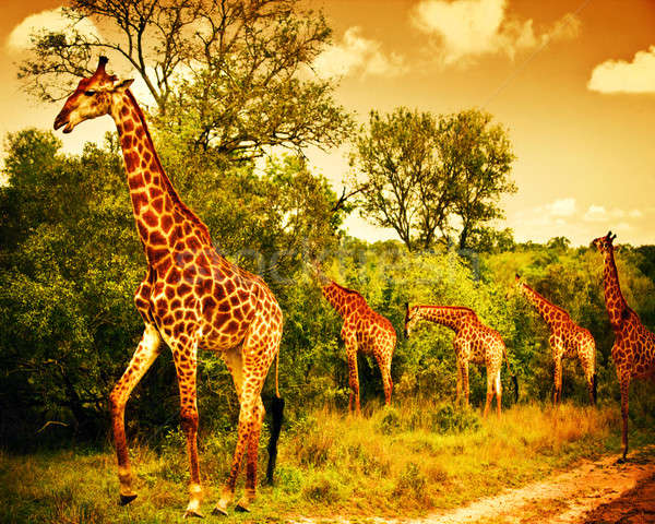South African giraffes Stock photo © Anna_Om