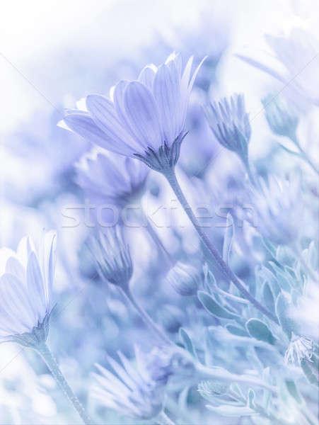 Tenro margarida flores belo naturalismo papel de parede Foto stock © Anna_Om