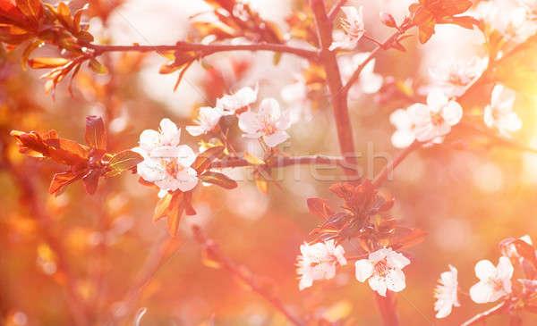 Cherry tree blossom background Stock photo © Anna_Om