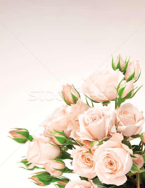 Taze güller sınır pembe güzel yalıtılmış Stok fotoğraf © Anna_Om