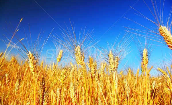 Wheat field Stock photo © Anna_Om