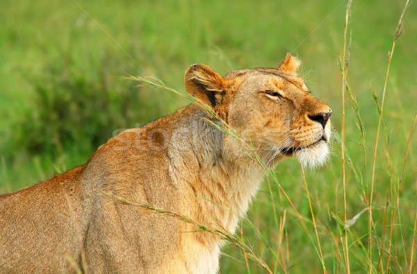 Vad afrikai Afrika Kenya tavasz macska Stock fotó © Anna_Om