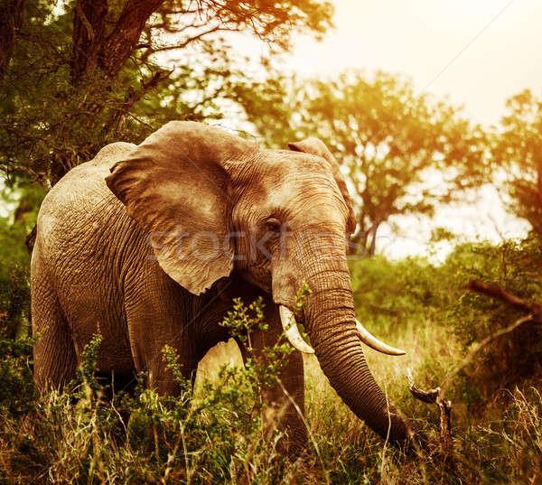 Huge elephant outdoors Stock photo © Anna_Om