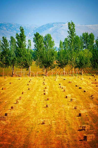 Many haycocks on golden dry field Stock photo © Anna_Om