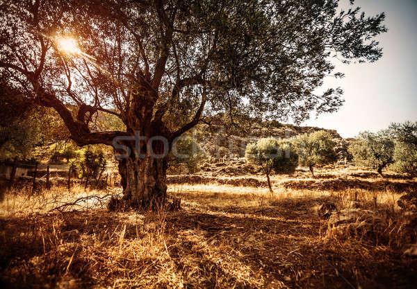 Gyönyörű olajfa nagy fényes nap vidék Stock fotó © Anna_Om