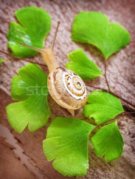 Küçük salyangoz taze yeşil yaprakları doğa Stok fotoğraf © Anna_Om
