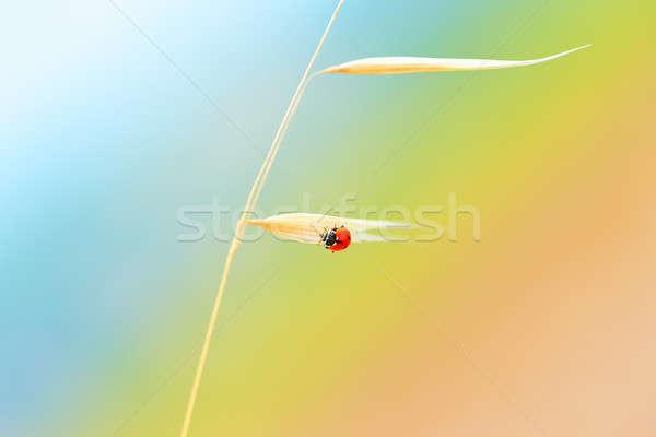 Mariquita trigo tallo sesión oro secar Foto stock © Anna_Om
