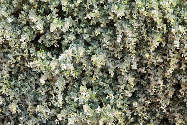 Green Leaves Background Stock photo © anshar