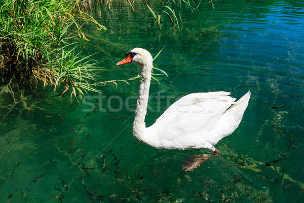 Beautiful Swan Gliding on Transparent Water Surface of Krka Rive Stock photo © anshar