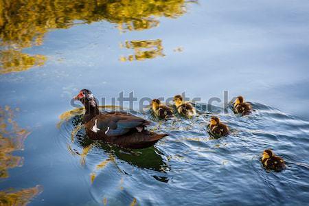 Kacsa baba víz Horvátország tavasz szeretet Stock fotó © anshar