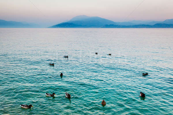 Beautiful Ducks Gliding on the Water Surface of Garda Lake, Sirm Stock photo © anshar