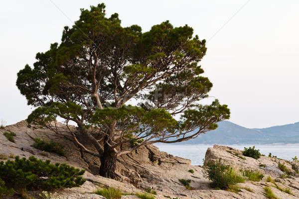 Pino playa Croacia agua naturaleza mar Foto stock © anshar