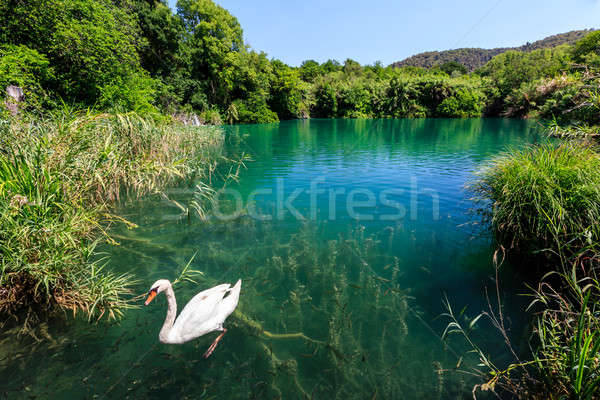 Belle cygne transparent surface de l'eau rivière Croatie Photo stock © anshar