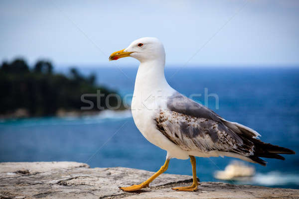 Graceful Seagull Walking in Front of the Sea Stock photo © anshar