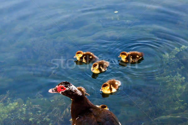 Duck and Baby Ducklings in the Water, Split, Croatia Stock photo © anshar