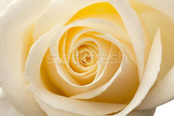 Izzik bent fehér rózsák makró közelkép Stock fotó © Antartis
