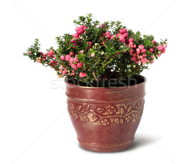 Evergreen Christmas arrangement in pot Stock photo © Anterovium