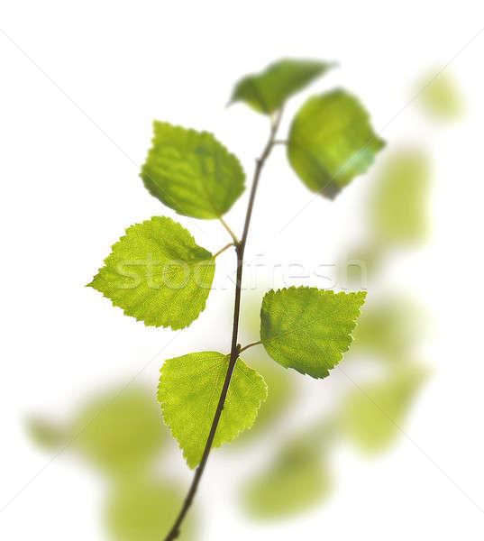 Yeşil huş ağacı yaprakları ilk bahar beyaz Stok fotoğraf © Anterovium