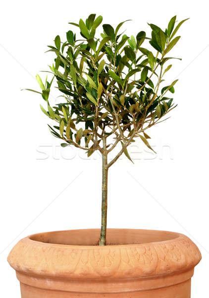 Jonge olijfboom pot klein groene geïsoleerd Stockfoto © Anterovium