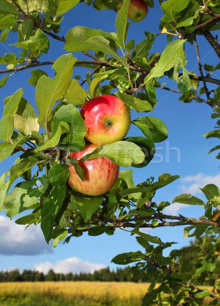 Piros almák kert friss növekvő ősz Stock fotó © Anterovium