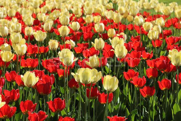 Red and natural white tulips field Stock photo © Anterovium
