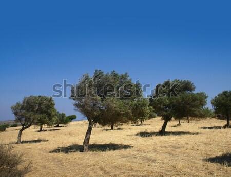 Ventoso oliva árvores colina campo Foto stock © Anterovium