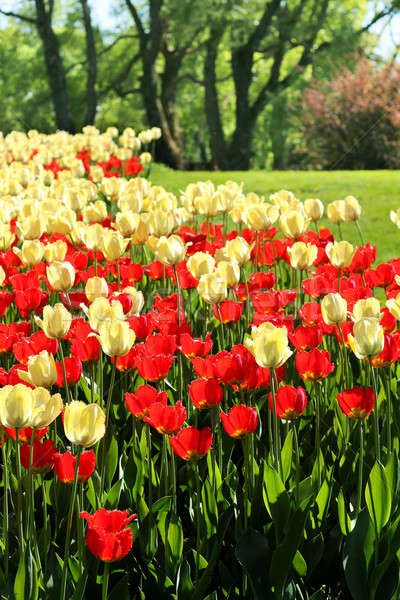 Red and light yellow tulips garden Stock photo © Anterovium