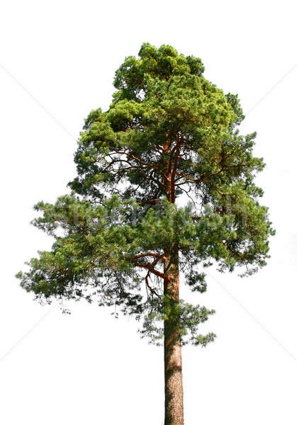 Lone pine tree on white Stock photo © Anterovium