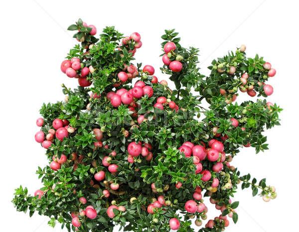 Natale evergreen impianto rosso frutti di bosco isolato Foto d'archivio © Anterovium
