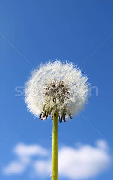 Dandelion tuft Stock photo © Anterovium