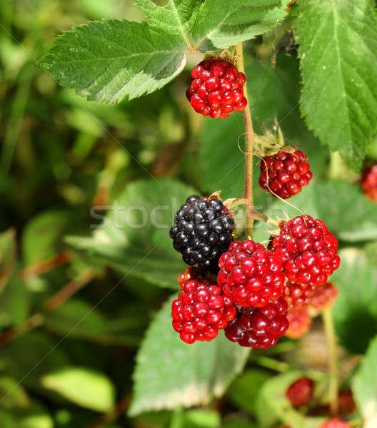 Czarny czerwony jagody oddziału naturalnych Zdjęcia stock © Anterovium