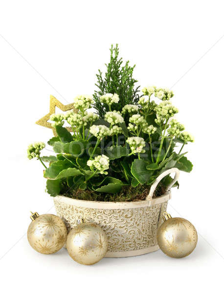 Christmas flower Stock photo © Anterovium
