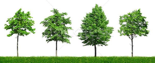 Dört genç yeşil ağaçlar farklı Stok fotoğraf © Anterovium