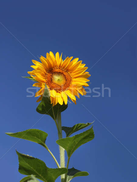 Solitary sunflower against blue sky Stock photo © Anterovium