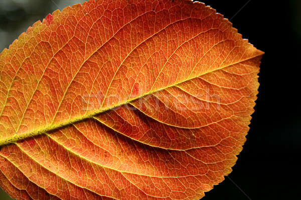 Сток-фото: красный · желтый · осень · лист · макроса · цветами