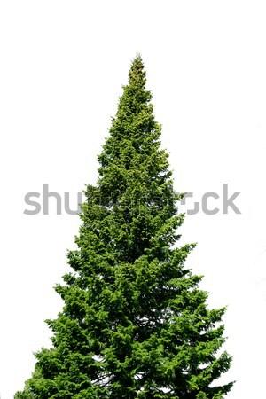 Egyedüli lucfenyő fa fehér zöld izolált Stock fotó © Anterovium