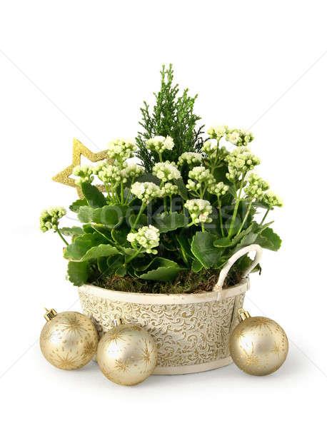 Christmas flower Stock photo © Anterovium