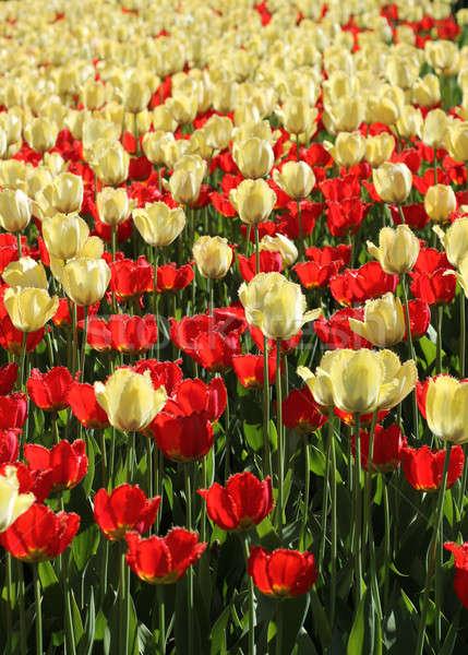 Piros lámpa citromsárga tulipánok mező kert virágzó Stock fotó © Anterovium