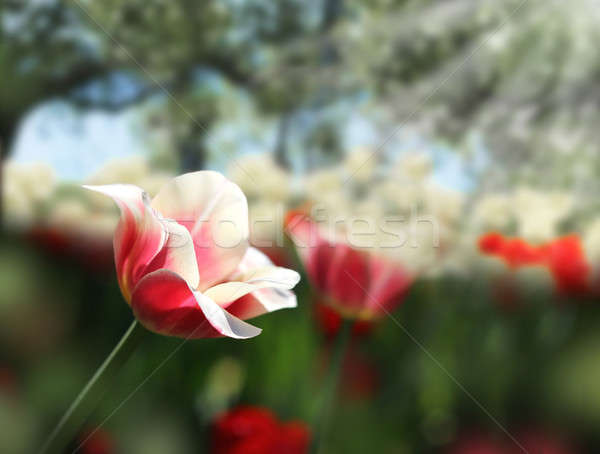 érzékeny tulipánok tavasz kert piros fehér Stock fotó © Anterovium