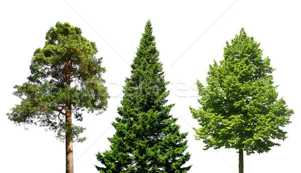 Three trees on white Stock photo © Anterovium