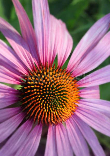 Coneflower closeup Stock photo © Anterovium