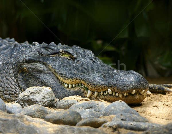 Alligator Lächeln gefährlich Mund Haut lächelnd Stock foto © Anterovium