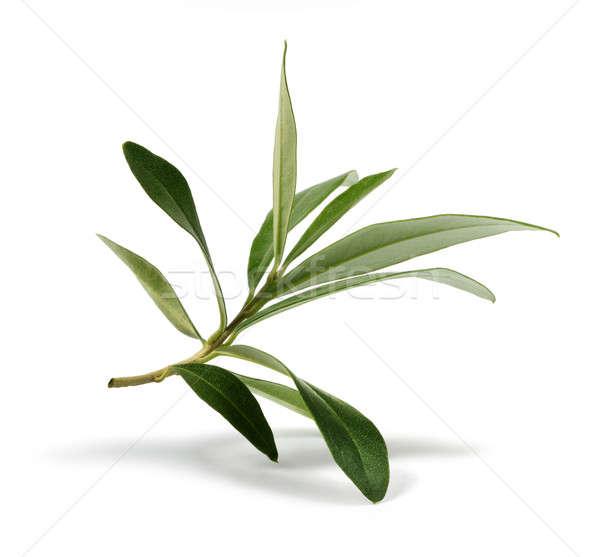 Fresche oliva ramo foglie isolato bianco Foto d'archivio © Anterovium