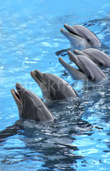 five dolphins Stock photo © Anterovium